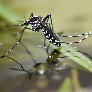 asian-tiger-mosquito